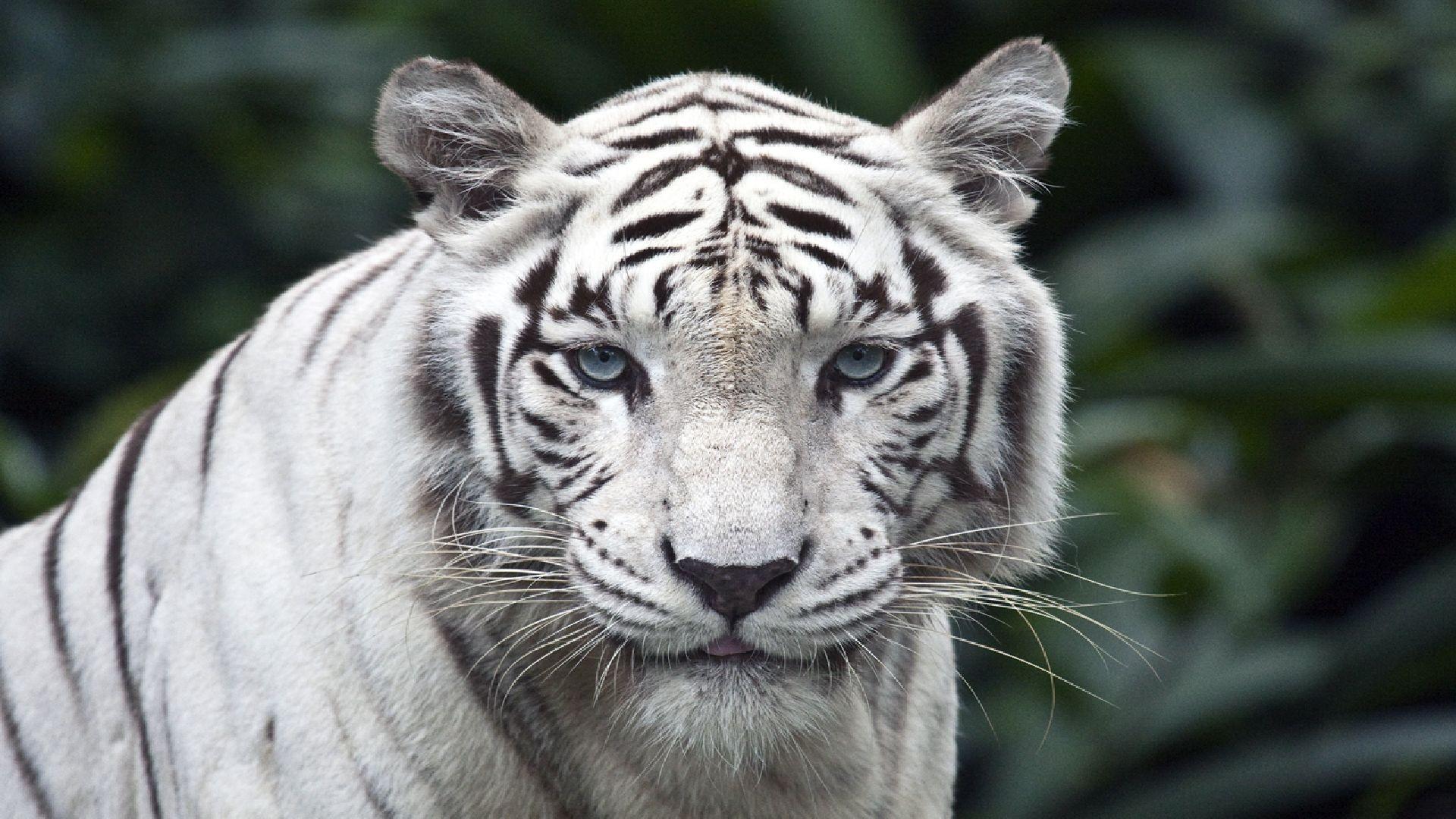Monreale, tigre bianca fugge dal circo