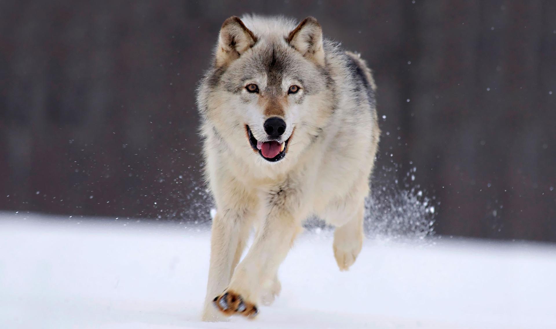 Aggressioni lupi