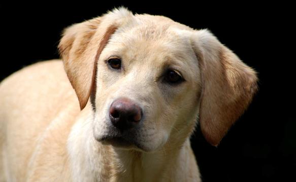 Labrador e pet therapy