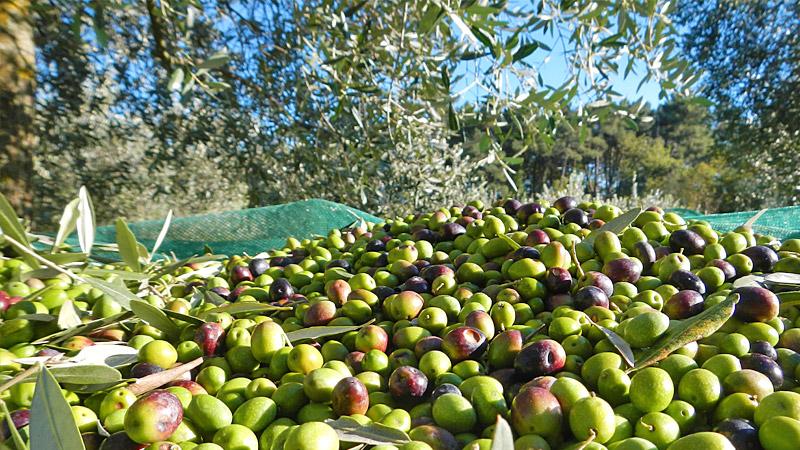 Raccolta olive gratis