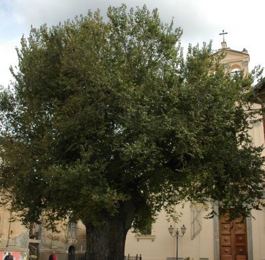 Aspromonte, alberi monumentali