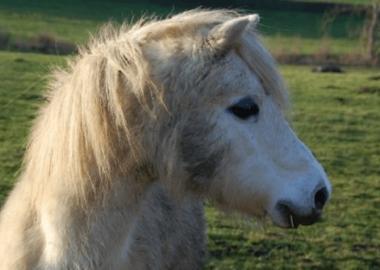 Pony, per il Tar è animale di compagnia